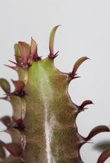 Euphorbia trigona rubra - Afrikaans melkboom