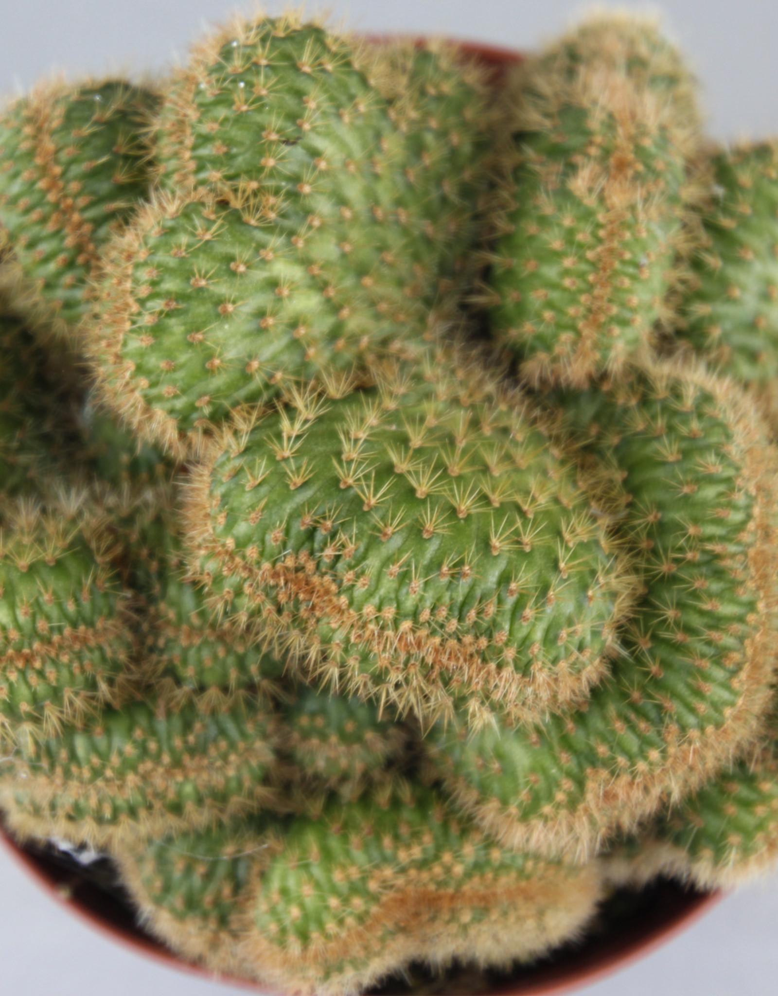 Hildewintera aureispina cristata - Hersenkoraal cactus