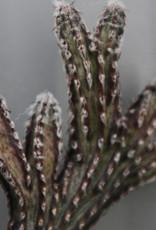 Monvillea spegazzinii 'cristata'