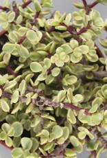Portulacaria afra 'variegata' - Spekboom