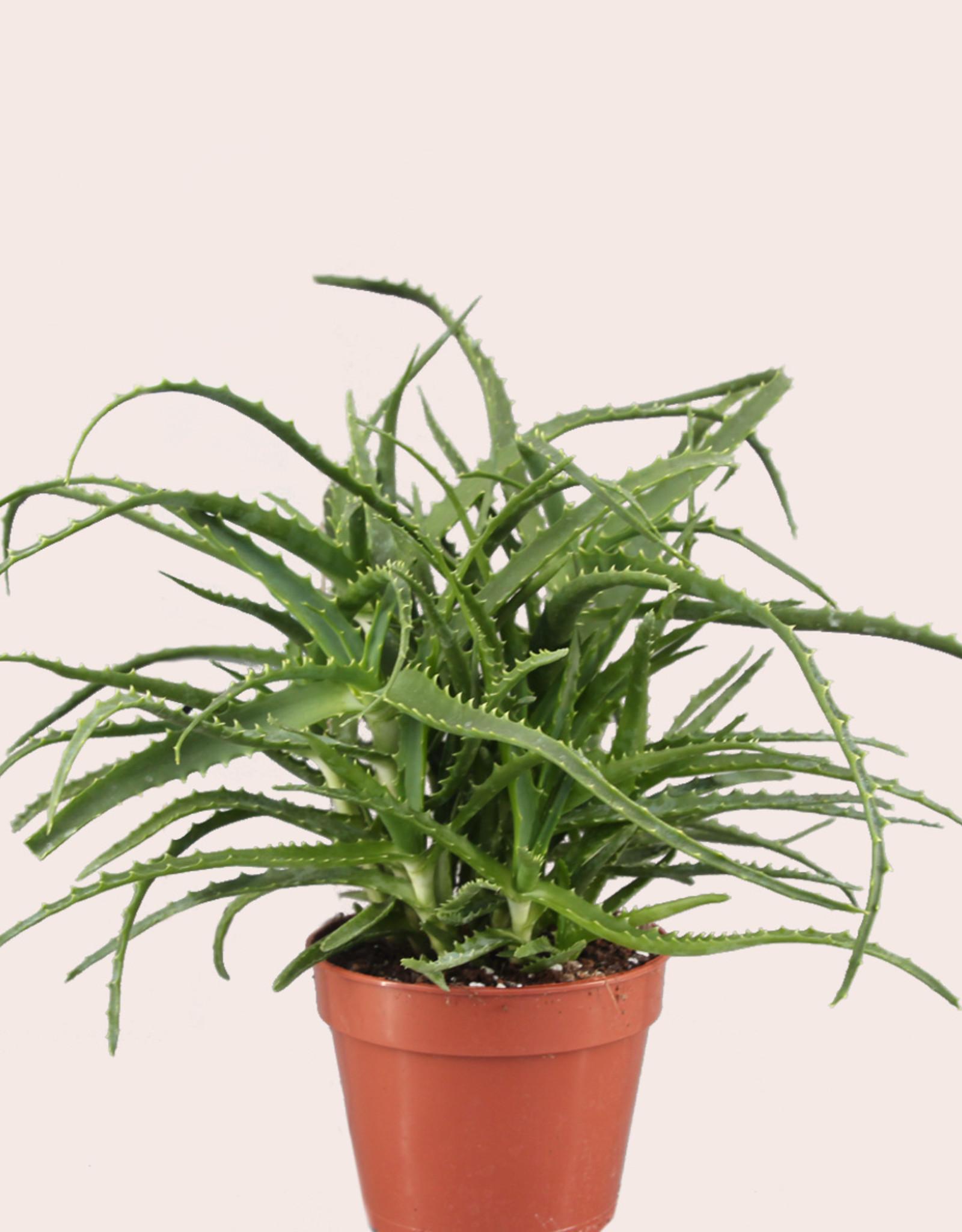 Aloe arborescens - Kandelaar Aloe