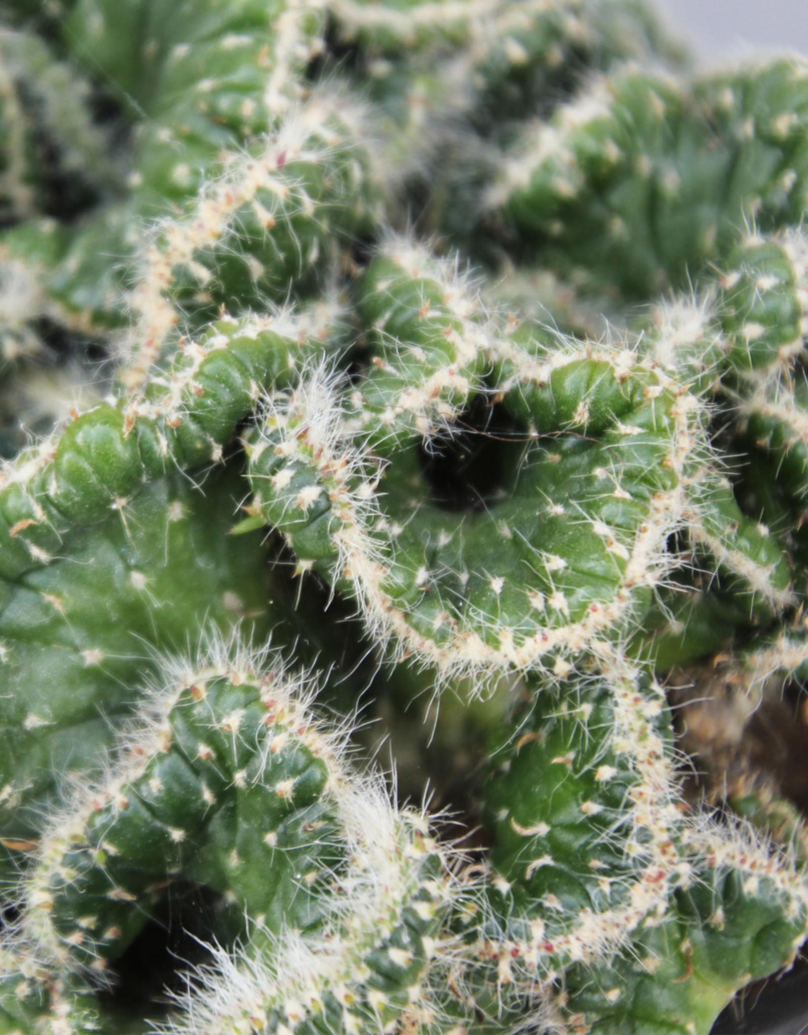 Opuntia cylindrica cristata - hersencactus
