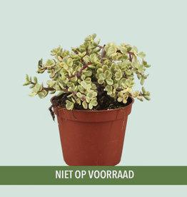 Portulacaria afra 'variegata'