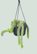 Hildewintera colademononis - Apenstaartcactus