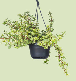 Portulacaria afra variegata