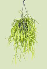 Rhipsalis kirbergii - Koraalcactus