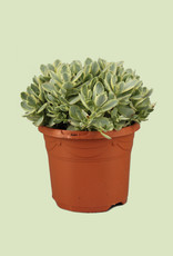 Crassula moneymaker 'variegata' - Money Maker