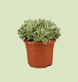 Crassula moneymaker 'variegata'