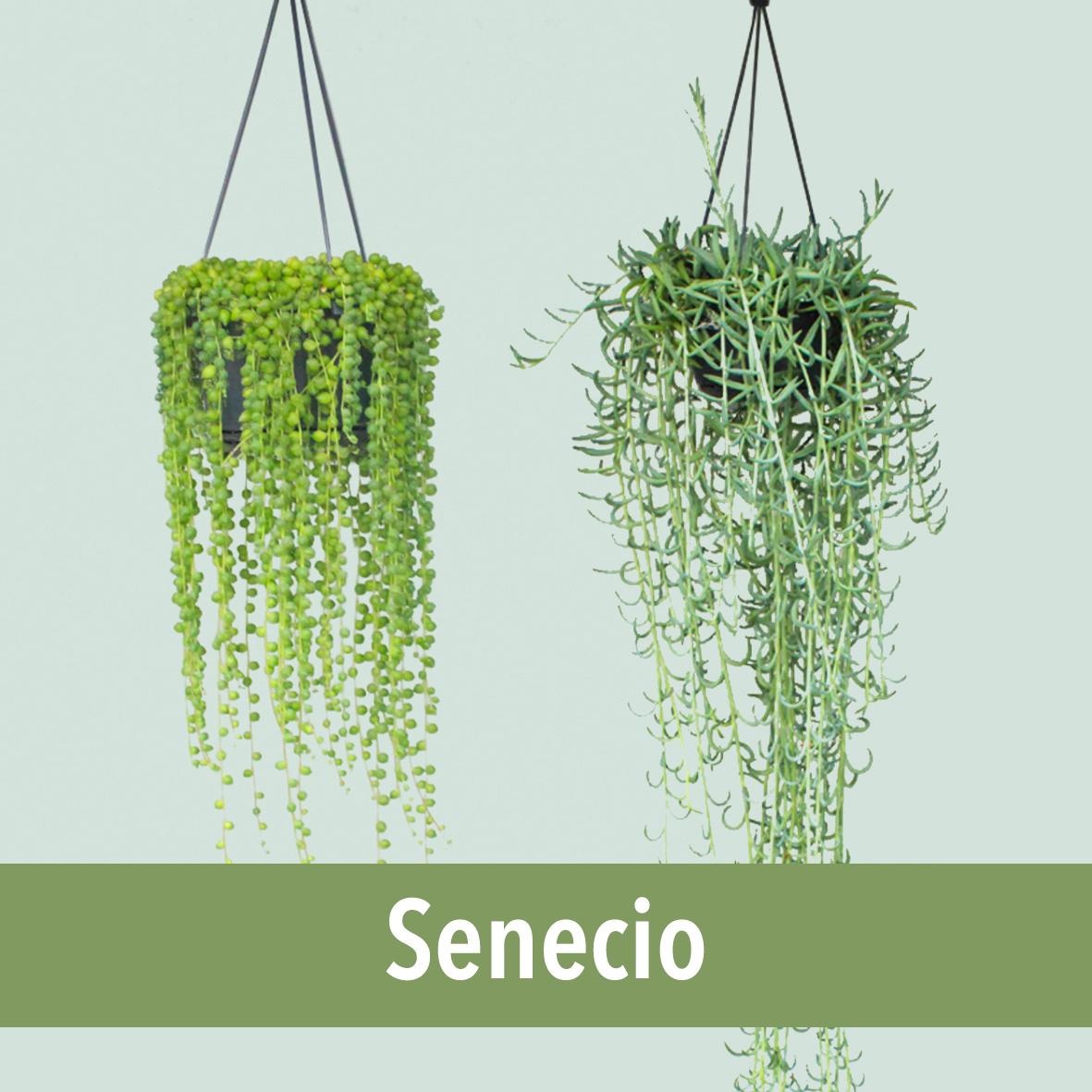 senecio