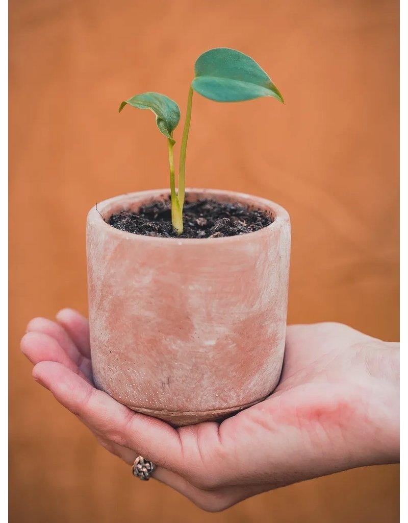 Grow your ownn: Monstera Deliciosa