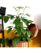 Grow your ownn: Schefflera Actinophylla