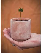Grow your ownn: Coffea Arabica