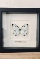 Taxidermie Vlinder Morpho Luna