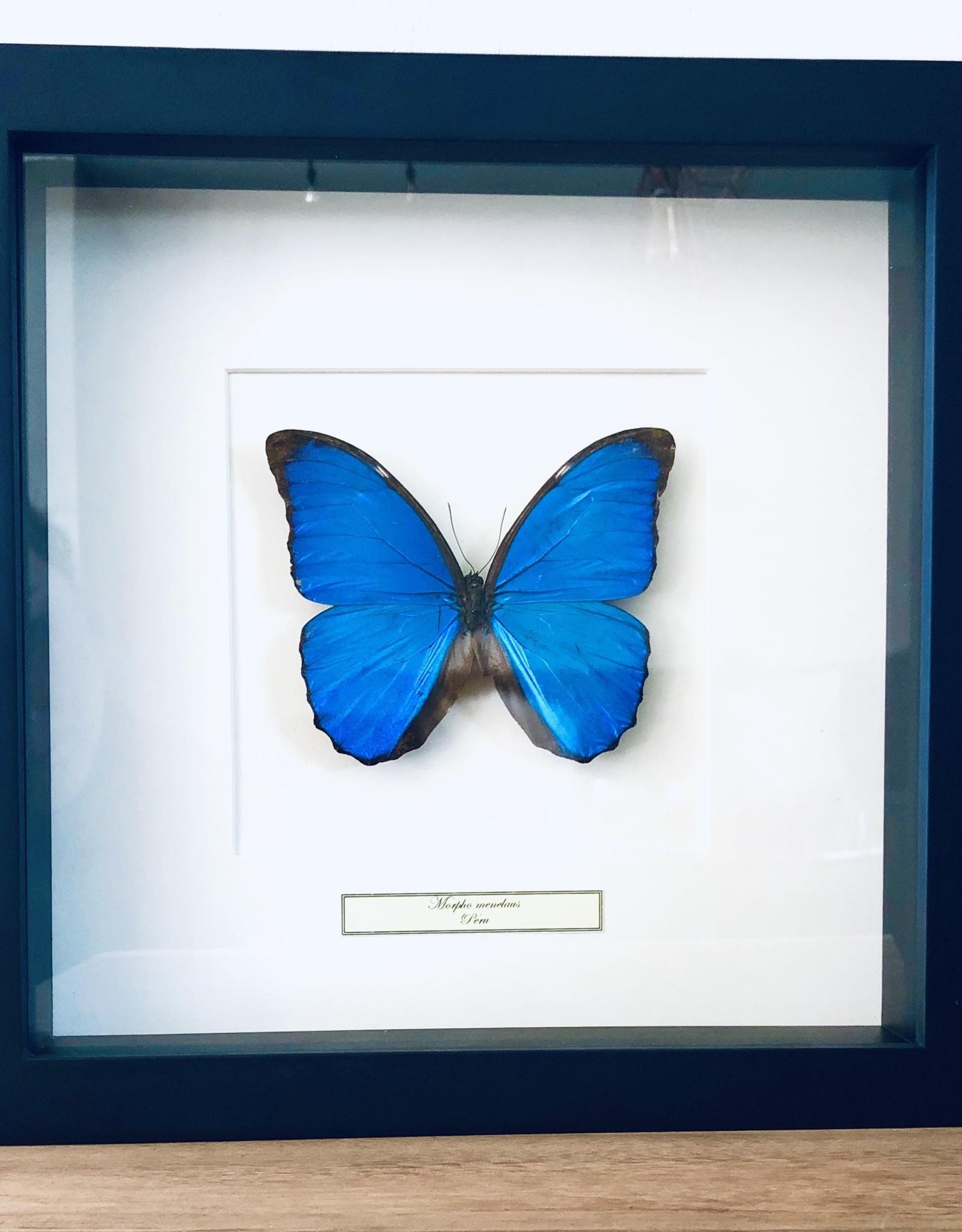 Taxidermie Vlinder Morpho Menelaus