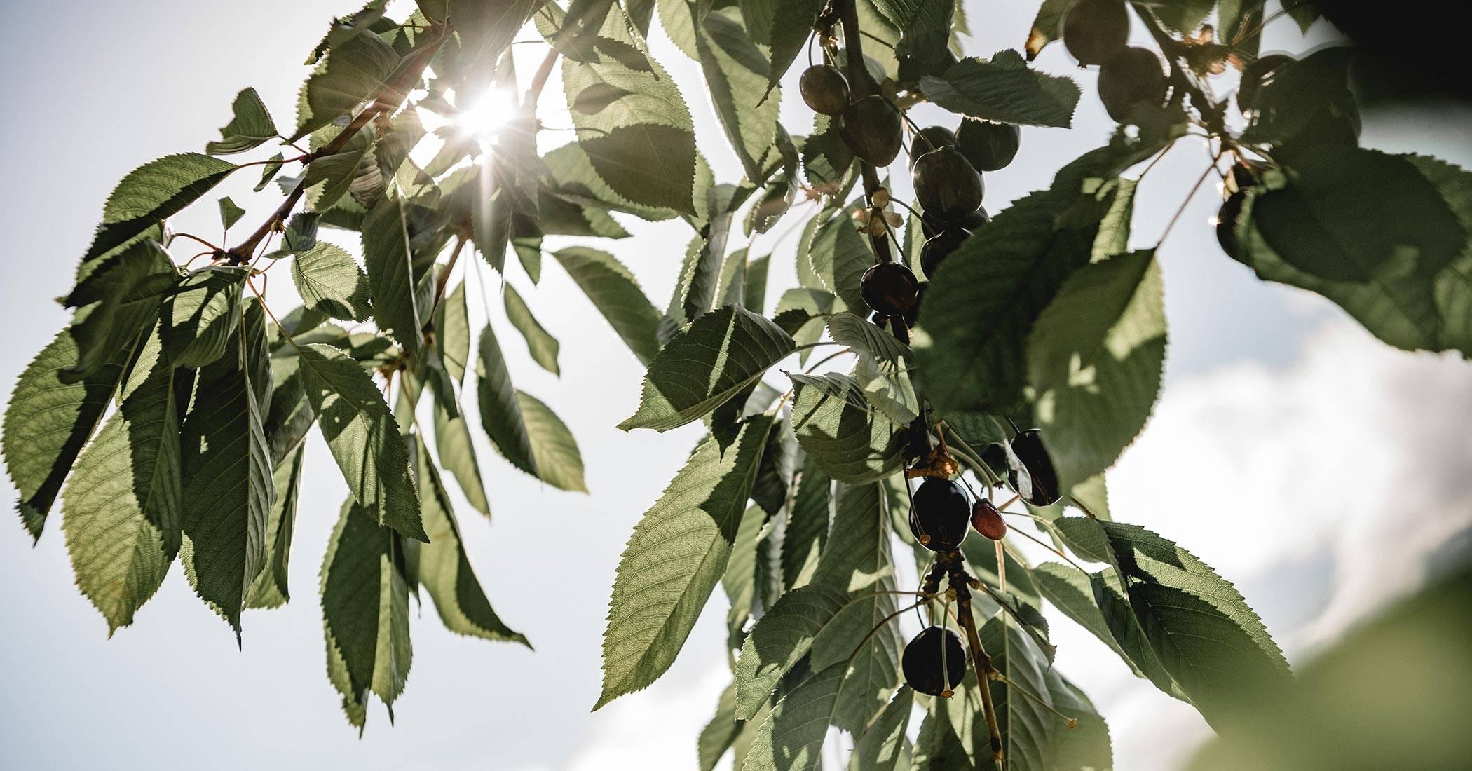 Artikel mit Schlagwort Apfelminze