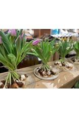 IJsseltulp Bos tulpen in schoof