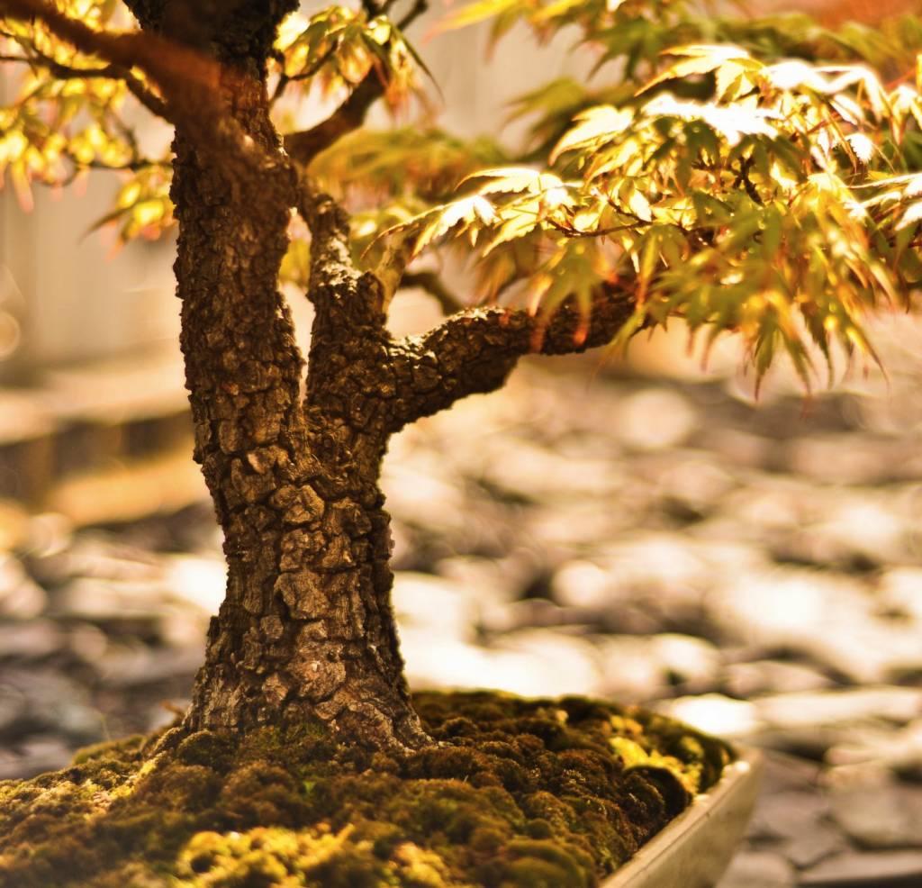 Een kunstige bonsai ficus online kopen
