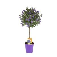Solanum rantonnetii (Ton sur Ton)