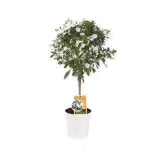 Solanum blanc Charles (Ton sur Ton)