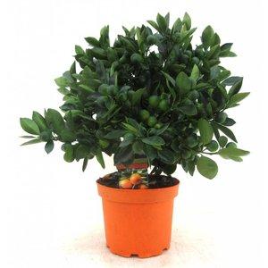 Citrus Calamondin en forme de buisson