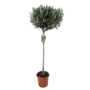 Mediterrane Planten Olive on stem L