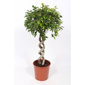 Ficus Foliole double trunk
