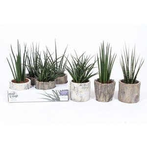 Sansevieria Luxury mix in Wood look pot