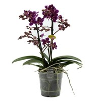 Phalaenopsis purple princess 2 tak