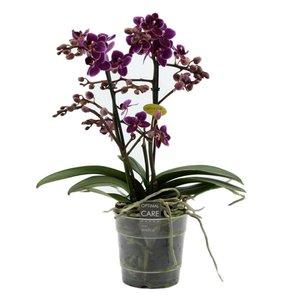 Phalaenopsis lila Prinzessin 2 Zweig