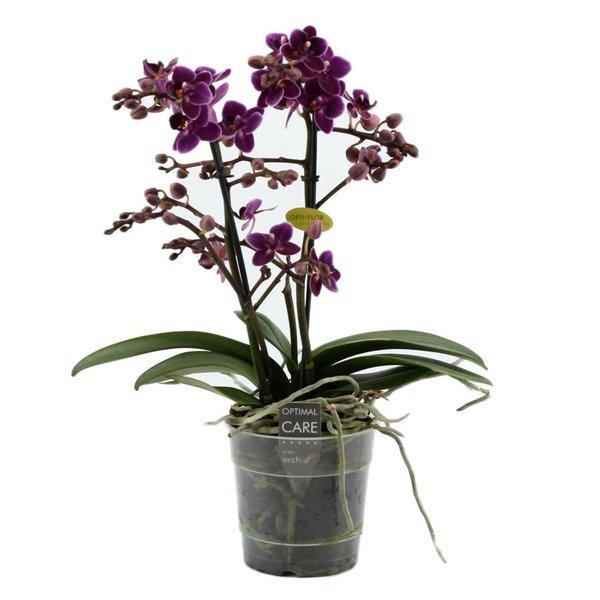 Phalaenopsis purple princess 2 branch