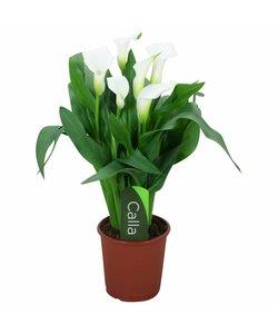 Chrystal Blush - weiße 5+ Blüten