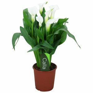 Zantedeschia Calla Chrystal Blush - blanc 5+ fleurs