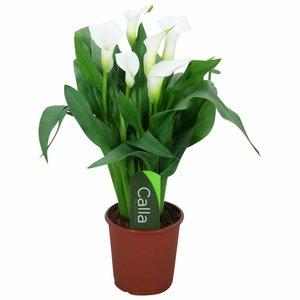 Zantedeschia Calla Chrystal Blush - wit 5+ bloemen