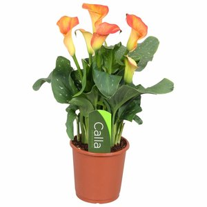 Zantedeschia Calla Captain Fuego - Orange 4 + flowers