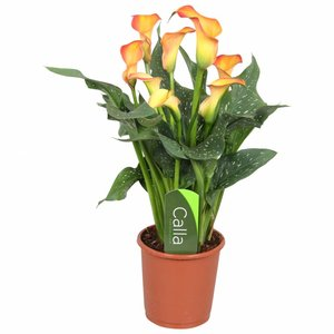Zantedeschia Calla Morgensonne - Orange 4+ Blumen