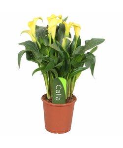 Sunclub geel - 5 + bloemen - Aronskelk