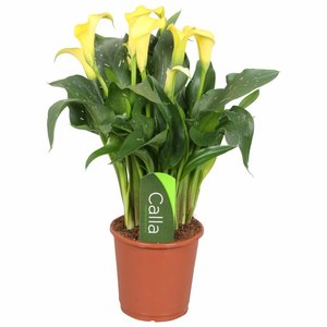 Zantedeschia Calla fleur jaune Sunclub 5 +