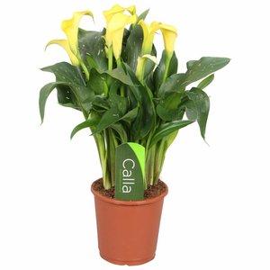 Zantedeschia Calla Sonnenclub gelb - 5 + Blumen