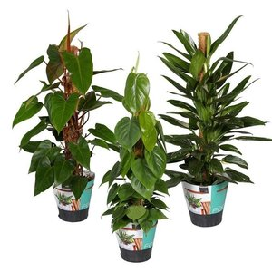 Philodendron Mixed 3 Stk