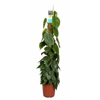 Philodendron Scandens - moss stick 120 cm