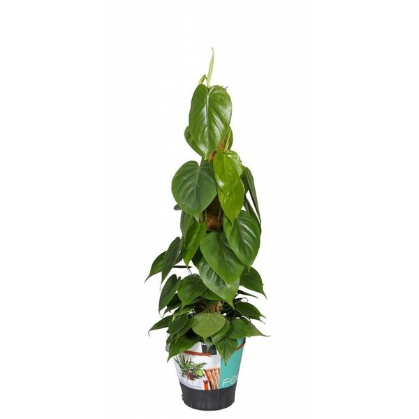 Philodendron Scandens - mosstok 80 cm