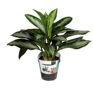 Aglaonema Diamond Bay P 17