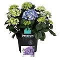 Hydrangea  Blue 10 to 15 flower buds