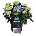 Hydrangea  Hortensia Blauw 10 tot 15 bloemknoppen