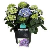 Hydrangea  Hydrangea Hortensia Blue 10 to 15 flower buds
