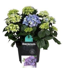 Hortensia bleu 10 à 15 boutons de fleurs