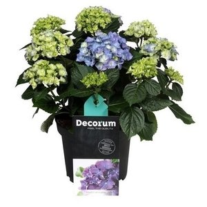 Hydrangea  Hydrangea-Blau 10 bis 15 Blütenknospen