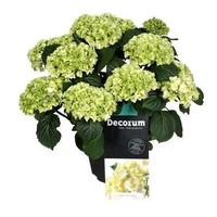 Hydrangea  White - 10 to 15 flower buds