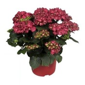 Hydrangea  Red - 10 to 15 flower buds in a pot