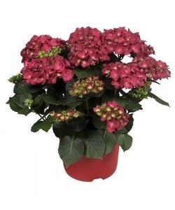 Red - 10 to 15 flower buds in a pot - Hydrangea